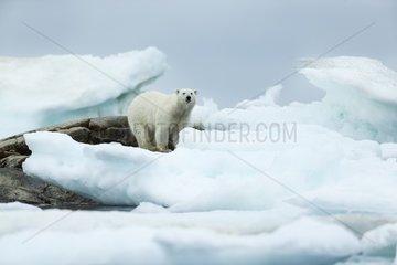 Polar Bear (Ursus maritimus) standing amid melting sea ice near Harbour Islands  Repulse Bay  Nunavut Territory  Canada