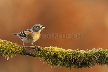 Brambling male northern winter visitor  on a mossy branch in winter