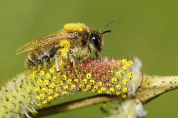 Mining Bee (Andrena praecox) on Willow catkin (Salix purpurea)  2015 April 09  Northern Vosges Regional Nature Park  France  ranked World Biosphere Reserve by UNESCO  France