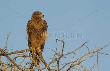 Tawny Eagle (Aquila rapax) - Perching in the early morning. Etosha National Park  Namibia.