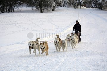 Huskies coupling - Ballon d'Alsace - Vosges mountains - France