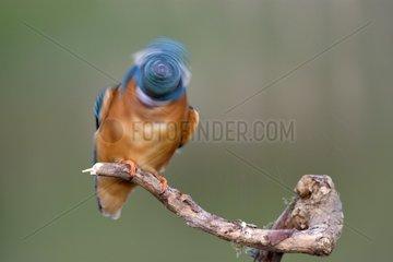 European kingfisher (Alcedo atthis) shaking his head