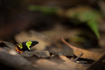 Harlequin Mantella undergrowth - Ranomafana Madagascar