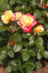 Roses Pullman Orient Express