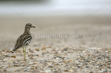 Eurasian Stone-curlew on the bank - Burgundy France