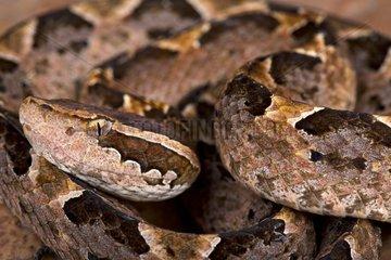 Malayan ground pit viper (Calloselasma rhodostoma)  Indonesia
