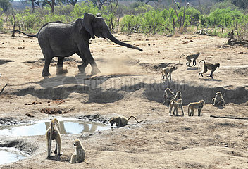 Elephants and Baboons at waterhole - Zimbabwe Hwange