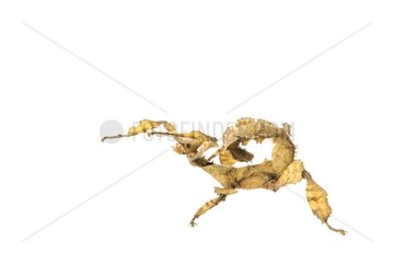 Macleay's spectre walkingstick female on white background