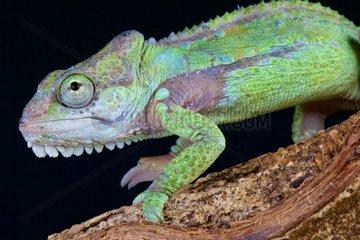 Knysna dwarf chameleon (Bradypodion damanarum)  Knysna mountain range  South Africa