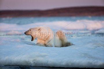Adult male Polar Bear (Ursus maritimus) yawns while resting on drifting pack ice near mouth of Wager Bay and Ukkusiksalik National Park  Nunavut Territory  Canada