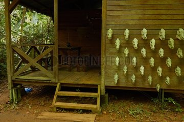 Peccary skulls hanging on a village house in the Nature Reserve of Sauel  Amazonian Park of Guiana  French Guiana