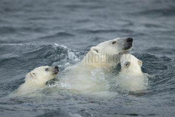 Polar Bear and young cubs (Ursus maritimus) swimming near Harbour Islands  Repulse Bay  Nunavut Territory  Canada