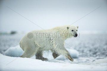 Polar Bear (Ursus maritimus) leaping between melting sea icebergs near Harbour Islands  Repulse Bay  Nunavut Territory  Canada