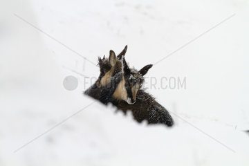 Young Chamois huddled against each other in the snow
