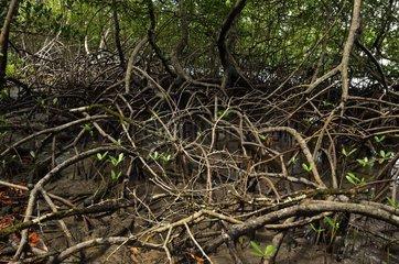 Red mangrove  Forêt de Vatable  Martinique  France