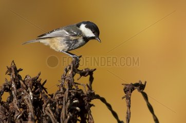 Coal tit (Parus ater)  Tit perched on barbed wire  England  Winter