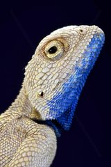 The Savigny's agama (Trapelus savignii) is endemic to the western Negev sands of Israel and the Gaza strip up to Sinai desert and the nile delta. 80% of the habitat of these lizards has been lost.  Israel