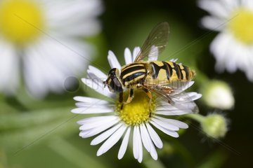 Hoverfly (Helophilus pendulus) on annual fleabane (Erigeron anuus)  10 September 2015  Northern Vosges Regional Nature Park  declared a World Biosphere Reserve by UNESCO  France
