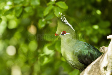 Livingstone's Turaco on a branch