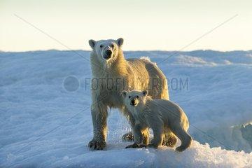 Polar Bear and Cub (Ursus maritimus) standing on sea ice at sunset near Harbour Islands  Repulse Bay  Nunavut Territory  Canada