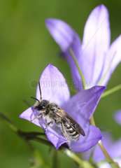 Solitary bee (Andrena curvungula) male on Bellflower (Campanula sp)  Northern Vosges Regional Nature Park  France