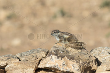 Barbary ground squirrel (Atlantoxerus getulus)  Morocco
