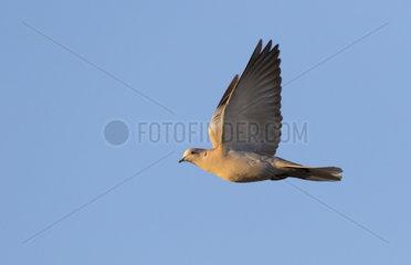 Collared dove (Streptopelia decaocto) Dove in flight  England  Winter