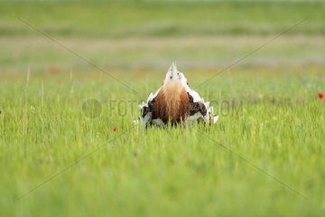 Great Bustard male in courtship - Spain