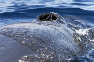 Bryde's whale (Balaenoptera brydei  edeni)  Spiracles  nostrils  Tenerife  Canary Islands.