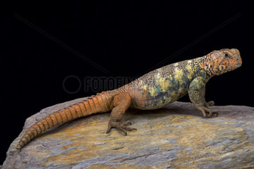 South Arabian Spiny-tailed Lizard (Uromastyx yemenensis)  Yemen