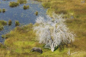 African Elephant bull in a marsh - Okavango Botswana