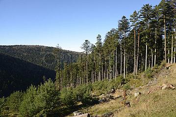 Scots Pine 'Wangenbourg' plantation - Vosges France
