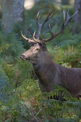Red Deer (Cervus elaphus) during slab
