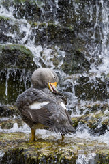 Flightless Steamerduck bathing in cascade
