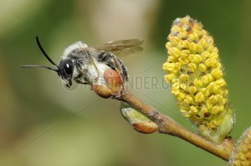 Mining Bee (Andrena vaga) male on Willow catkin (Salix caprea) 25 April 2015  Northern Vosges Regional Nature Park  France  ranked World Biosphere Reserve by UNESCO  France