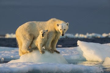 Polar Bear Cub (Ursus maritimus) beneath mother while standing on sea ice near Harbour Islands  Repulse Bay  Nunavut Territory  Canada