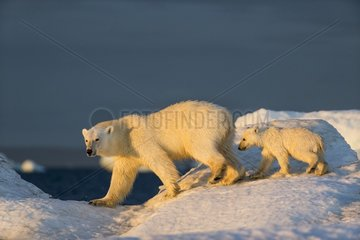 Polar Bear Cub (Ursus maritimus) walking with mother across sea ice near Harbour Islands  Repulse Bay  Nunavut Territory  Canada