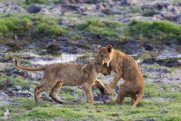 Lion (Panthera leo) - Two playful cubs in the early morning. Chobe National Park  Botswana.
