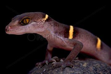 Vietnamese cave gecko (Goniurosaurus lichtenfelderi)  Vietnam