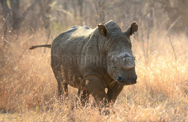 White rhinoceros horn cut - Matobo Zimbabwe