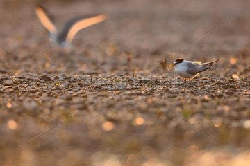 Little Terns on ground at dusk - Burgundy France