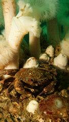 Velvet swimming crab and Clonal plumose anemones - Orkney
