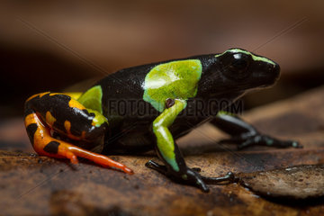 Harlequin Mantella - Ranomafana Madagascar