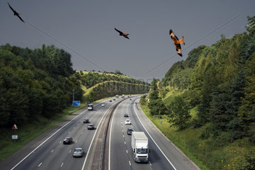 Red Kites in flight over the highway - UK