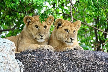 Tanzania. Serengeti national parc. Lion cubs on a rock.