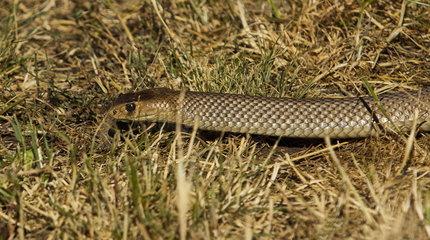 Eastern brown Snake on grass - Coolah Tops NSW Australia