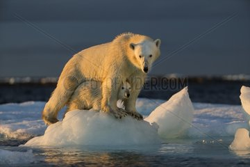 Polar Bear Cub (Ursus maritimus) by mother while standing on sea ice near Harbour Islands  Repulse Bay  Nunavut Territory  Canada