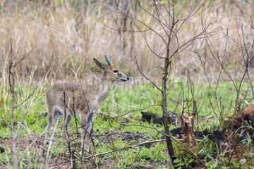 Steenbok in Kruger National park  South Africa