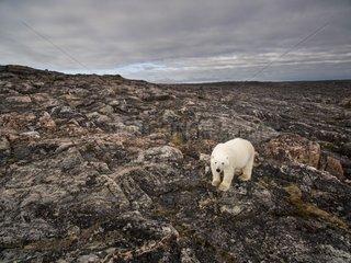 Aerial view of Polar Bear (Ursus maritimus) walking through rocky hills along Hudson Bay near Arctic Circle  Repulse Bay  Nunavut Territory  Canada