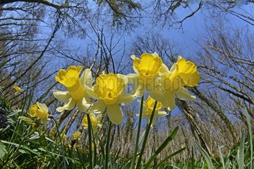 Daffodils (Narcissus jonquilla) flowers in forest